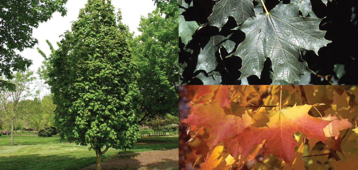 The Apollo® Sugar Maple is a compact, columnar formed tree selected by Bob Cole in an Ohio landscape.