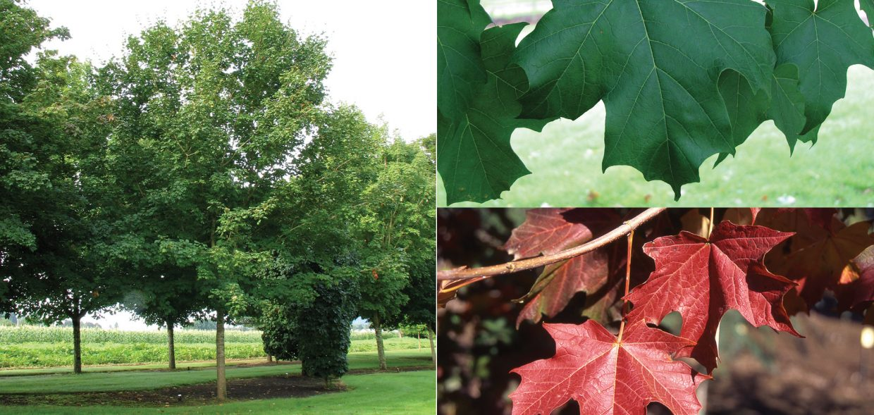 Crescendo™ Sugar Maple is a Chicagoland Grows® Introduction.