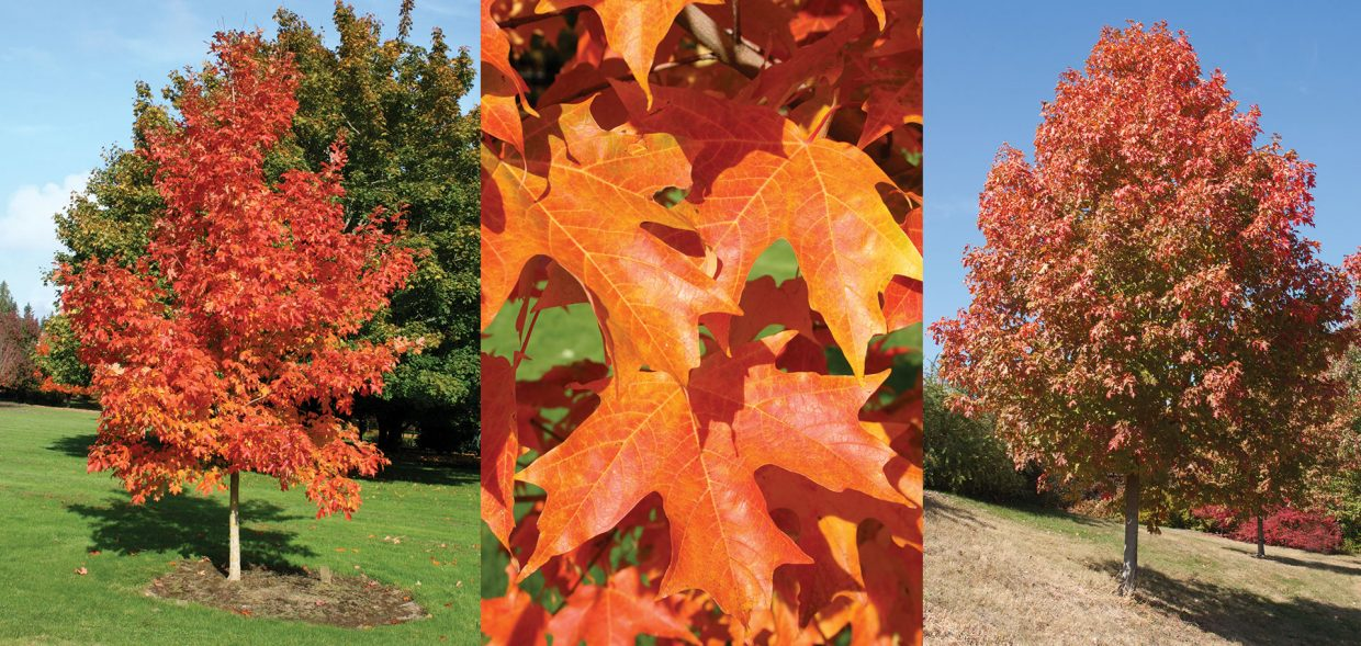 Fall Fiesta® has an upright habit when young and rounds out to an oval as it ages.