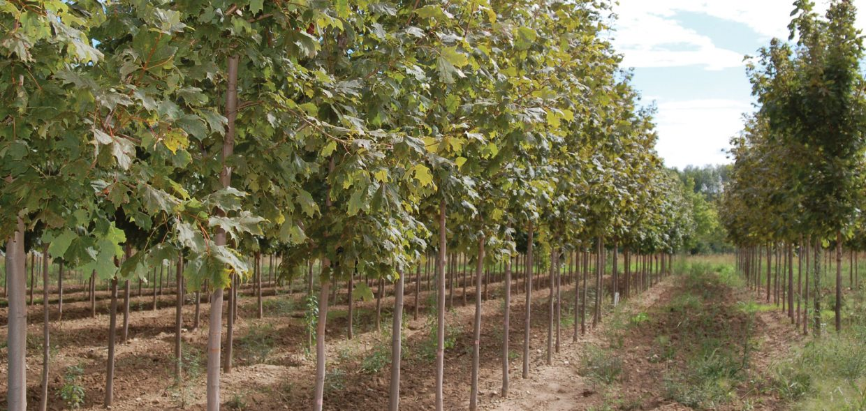 Majesty® Sugar Maple originated at Flax Mill Nursery in Cambridge, New York.